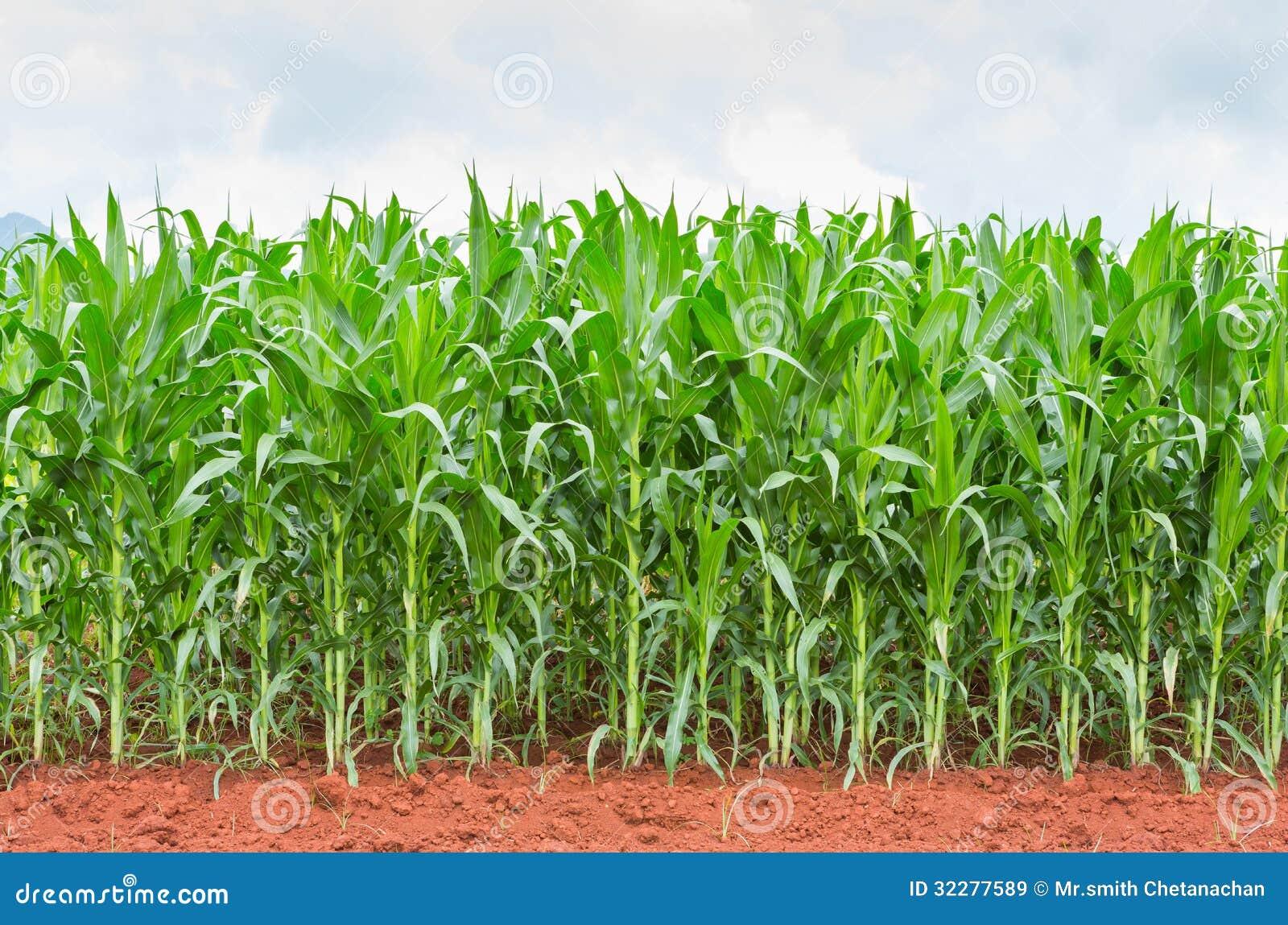 Plantación del maíz en Tailandia