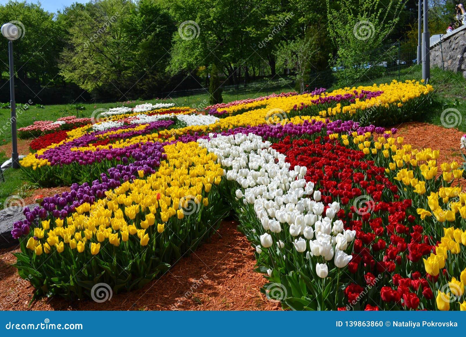 Plantación grande de tulipanes rojos el día soleado en primavera Fabricación de flores crecientes Cama de flor bajo la forma de p