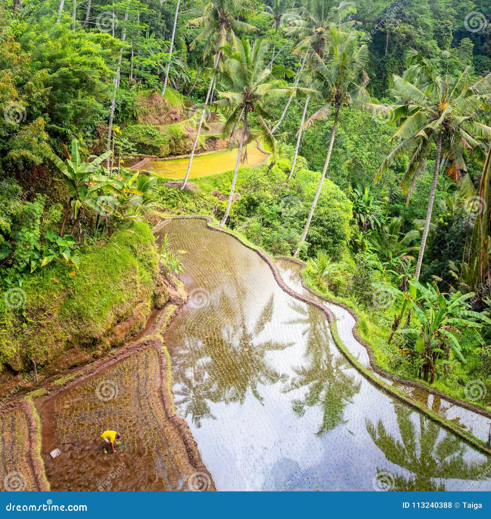 Plantación Local De La Terraza Acodada Del Arroz En La Isla