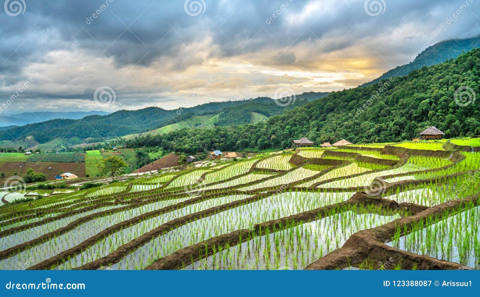 Plantación verde natural del campo del arroz