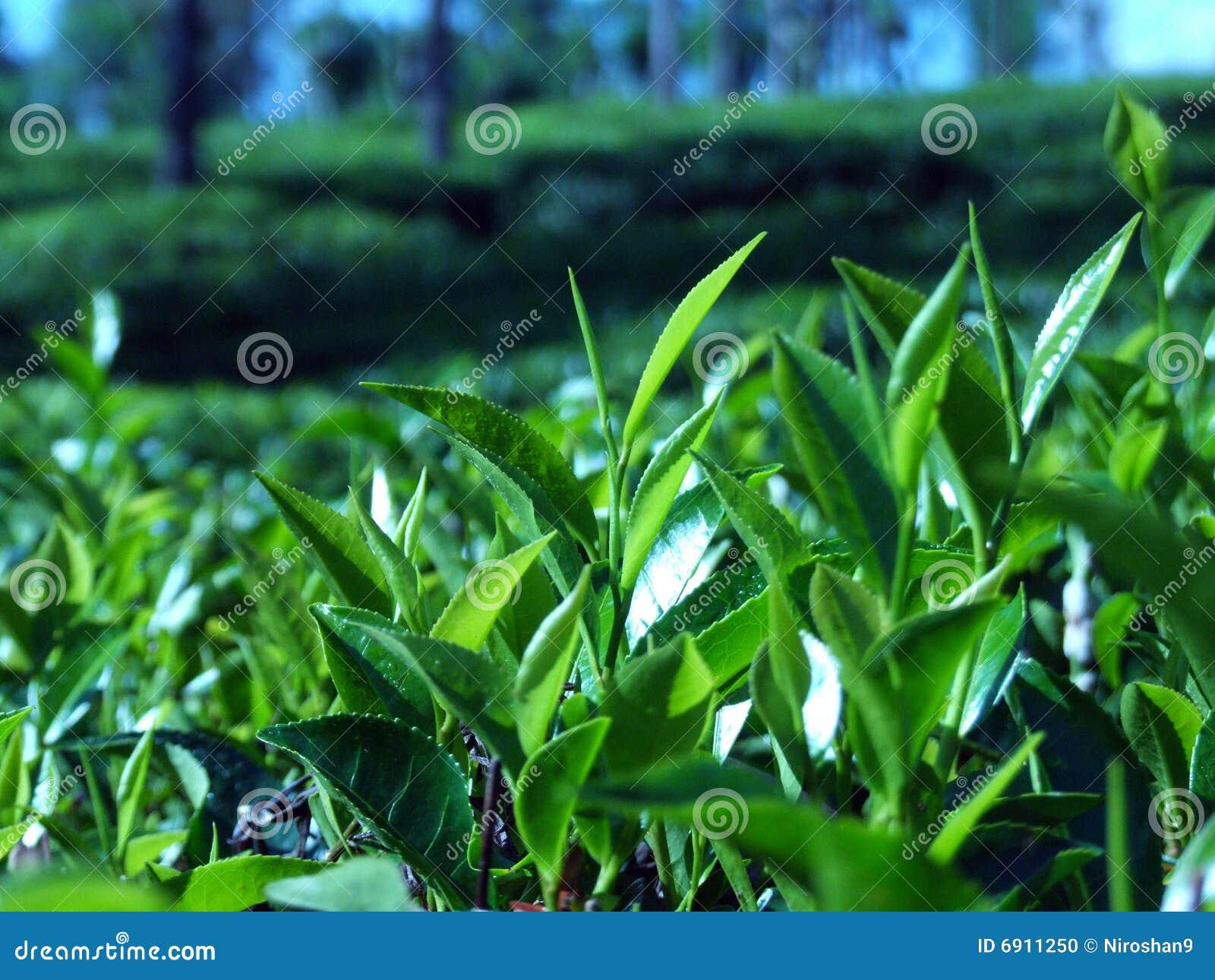 Plantaci herbata