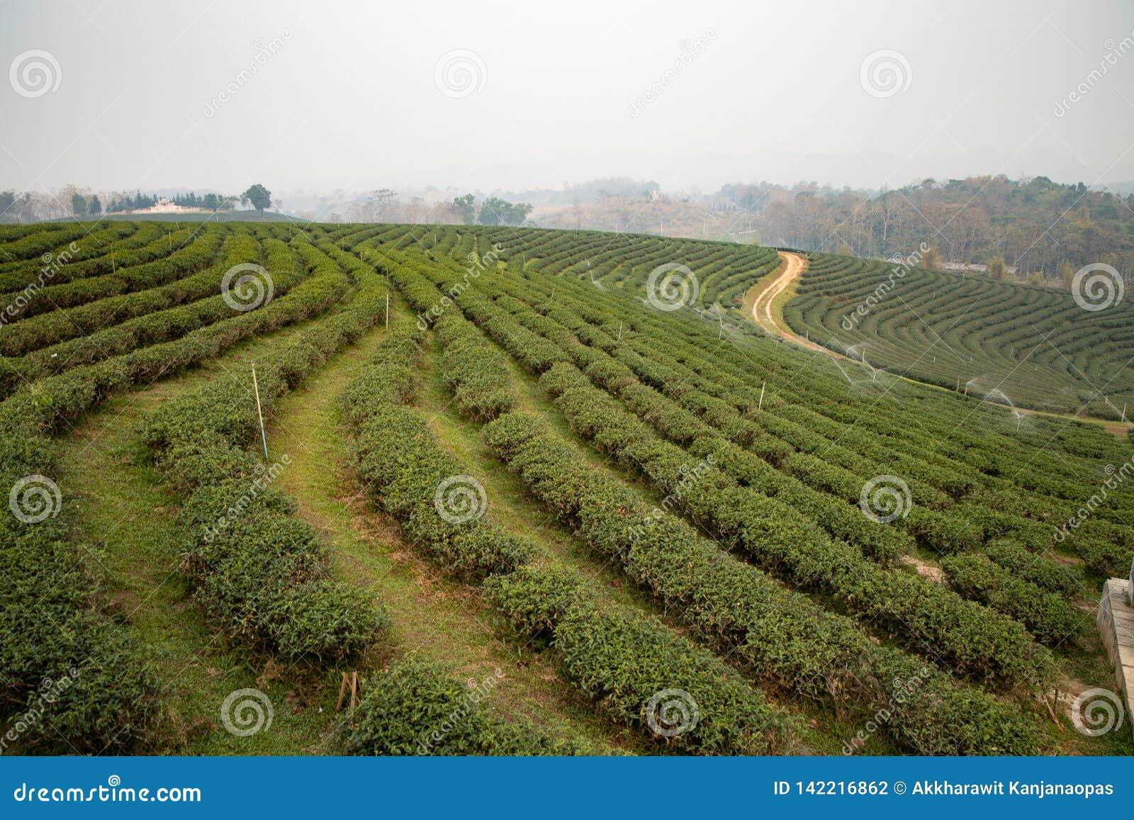 Plantaci północna herbata Thailand