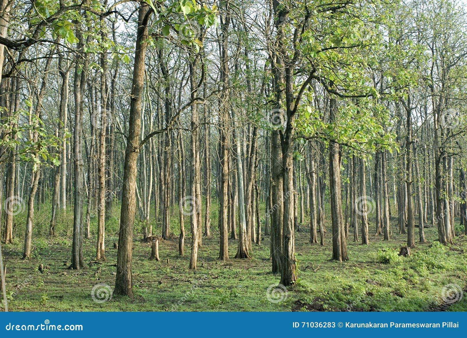 Plantaciones del gestión-árbol del bosque