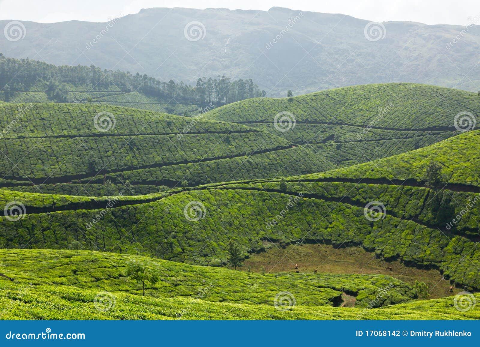 Plantacje herbaciane