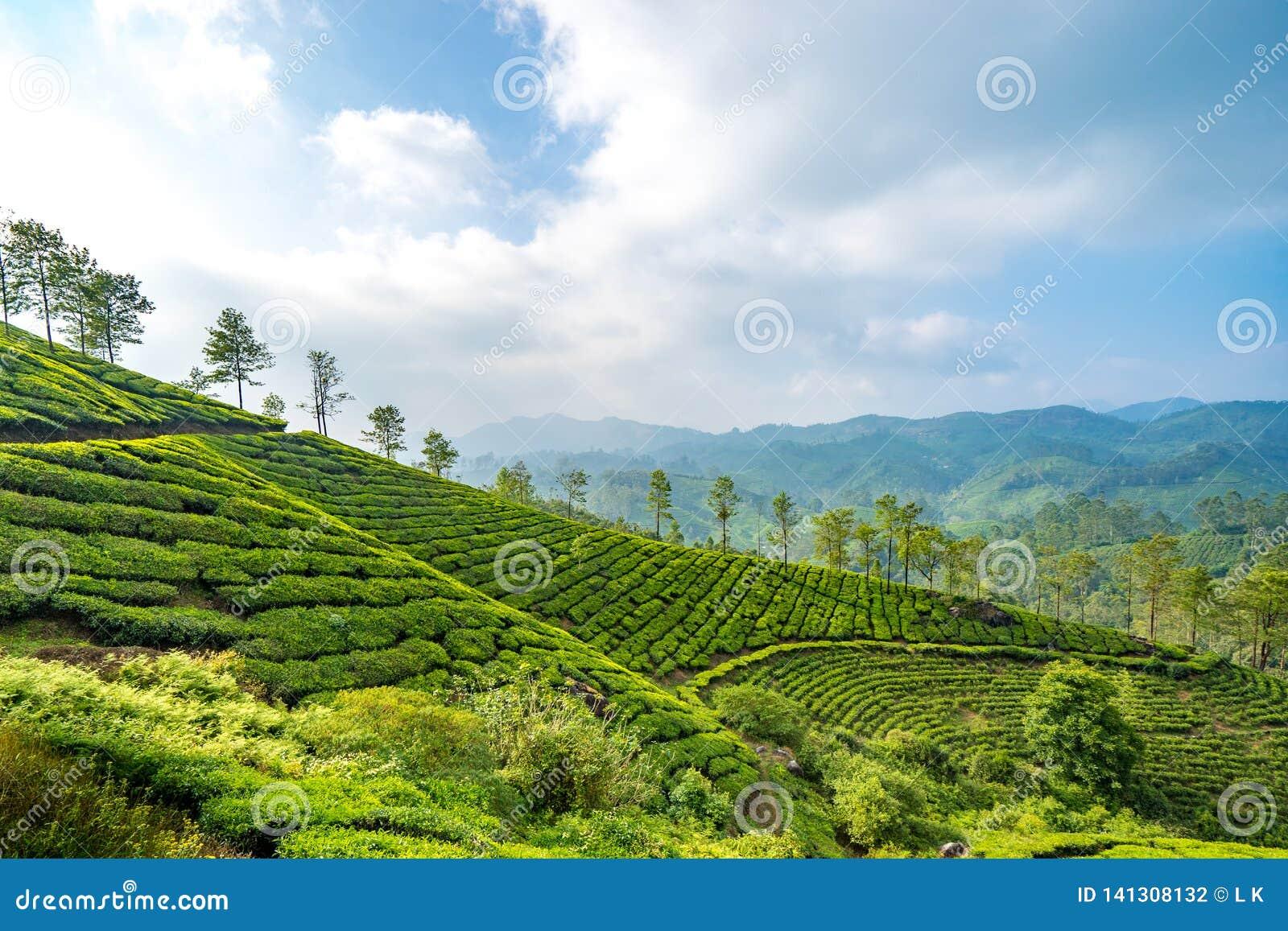 Plantages del té en Munnar, Kerala, la India