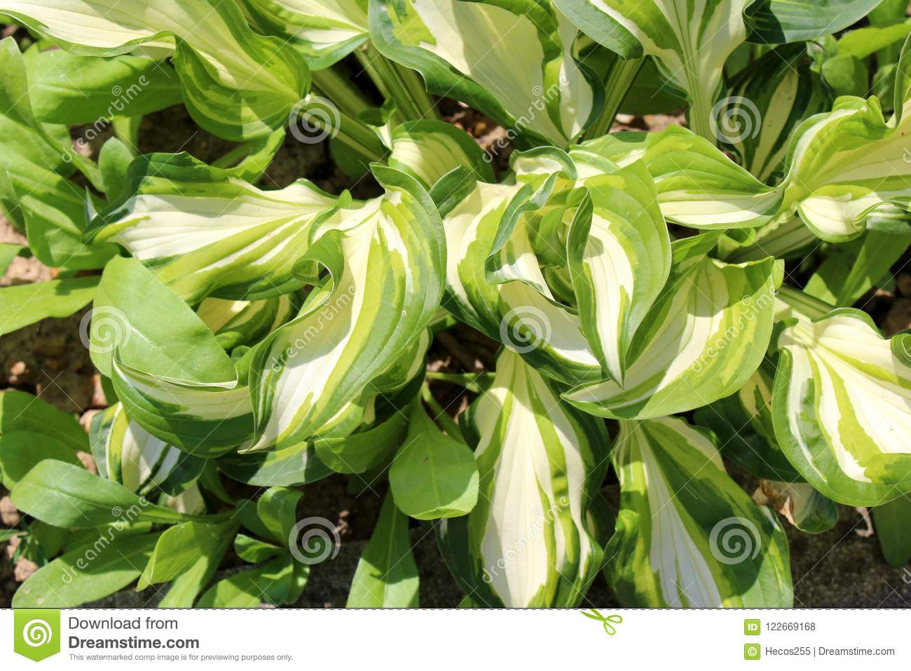 Plantain Lily Or Hosta Foliage Plant With Large Ribbed Light Green