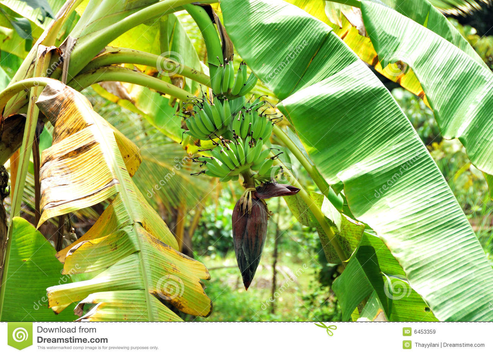 Plantain paradisiaca de fleur