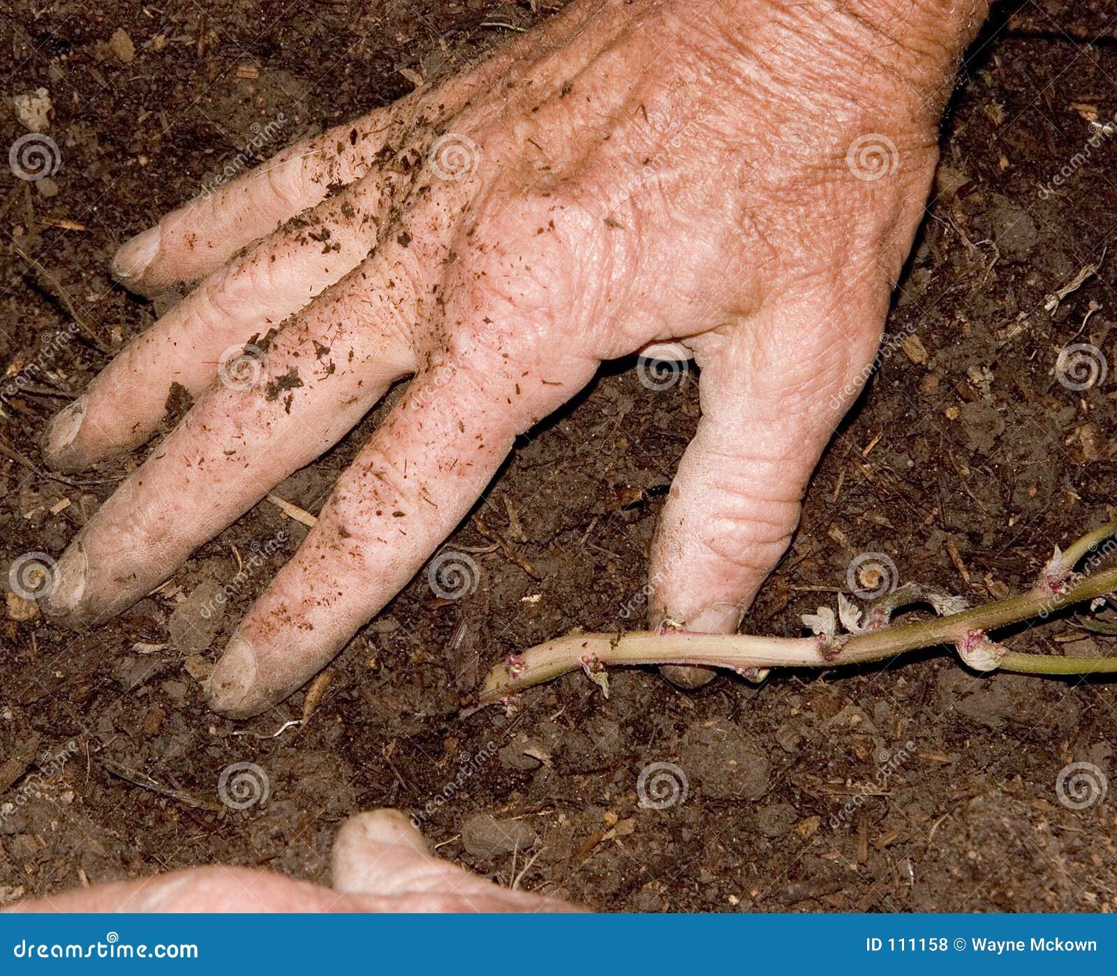 Plantando as batatas 2