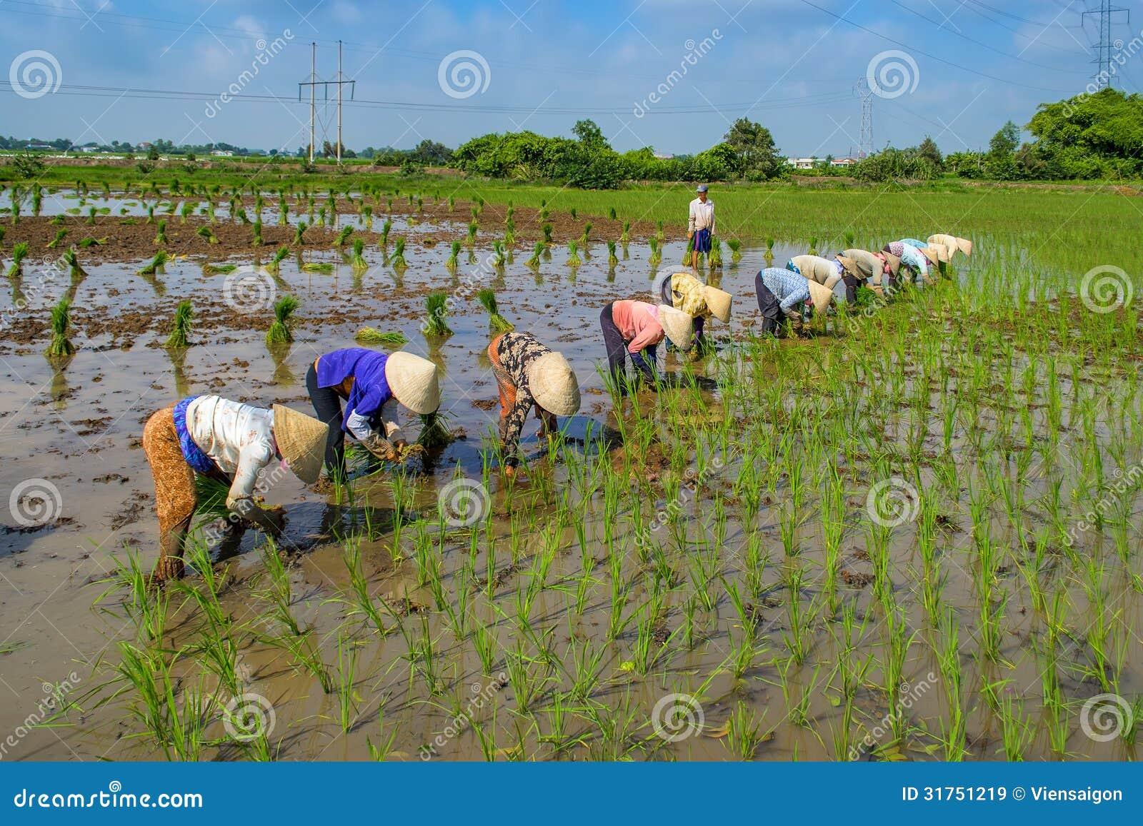 Plantando o arroz
