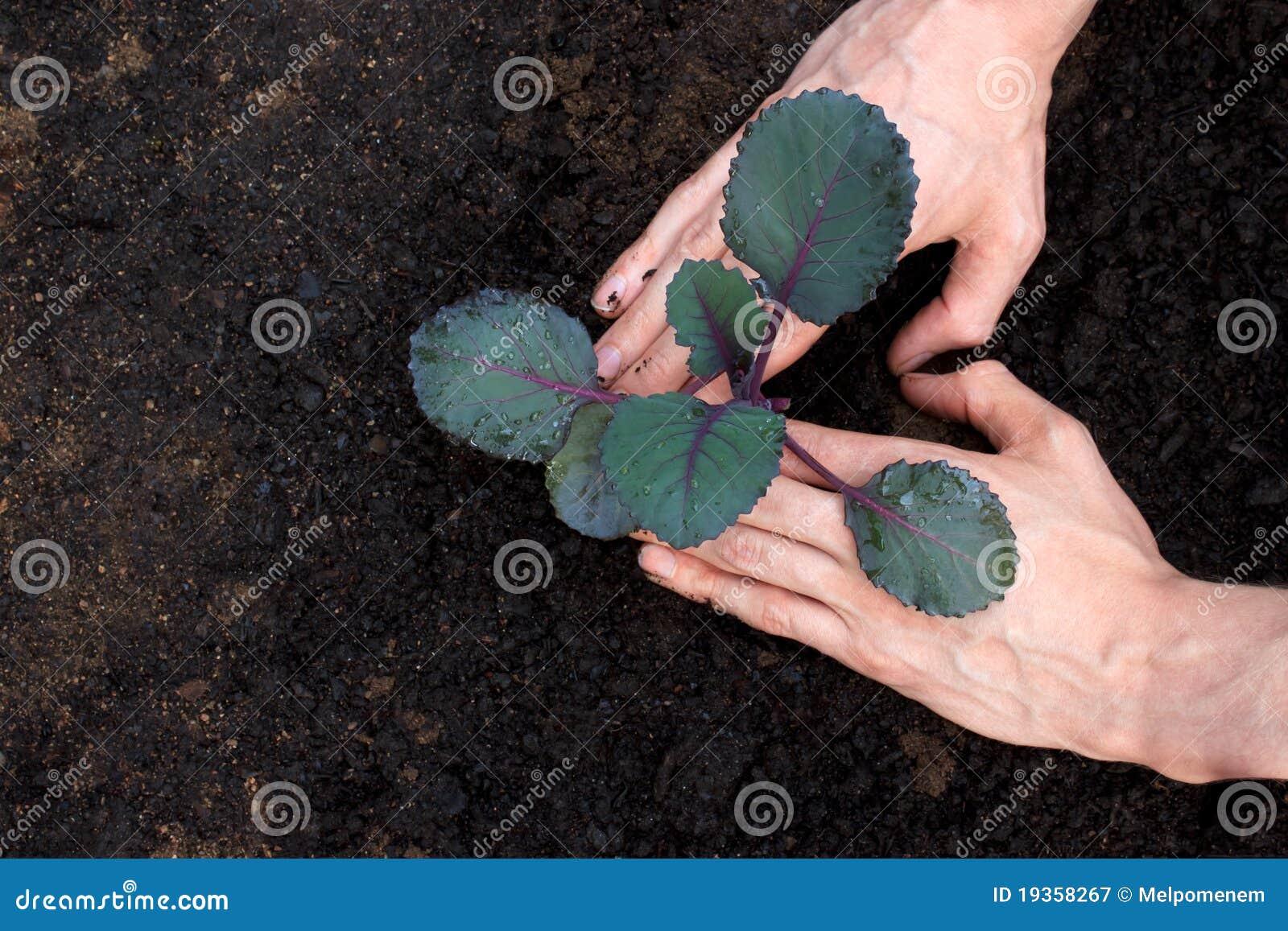 Plantando o repolho roxo novo
