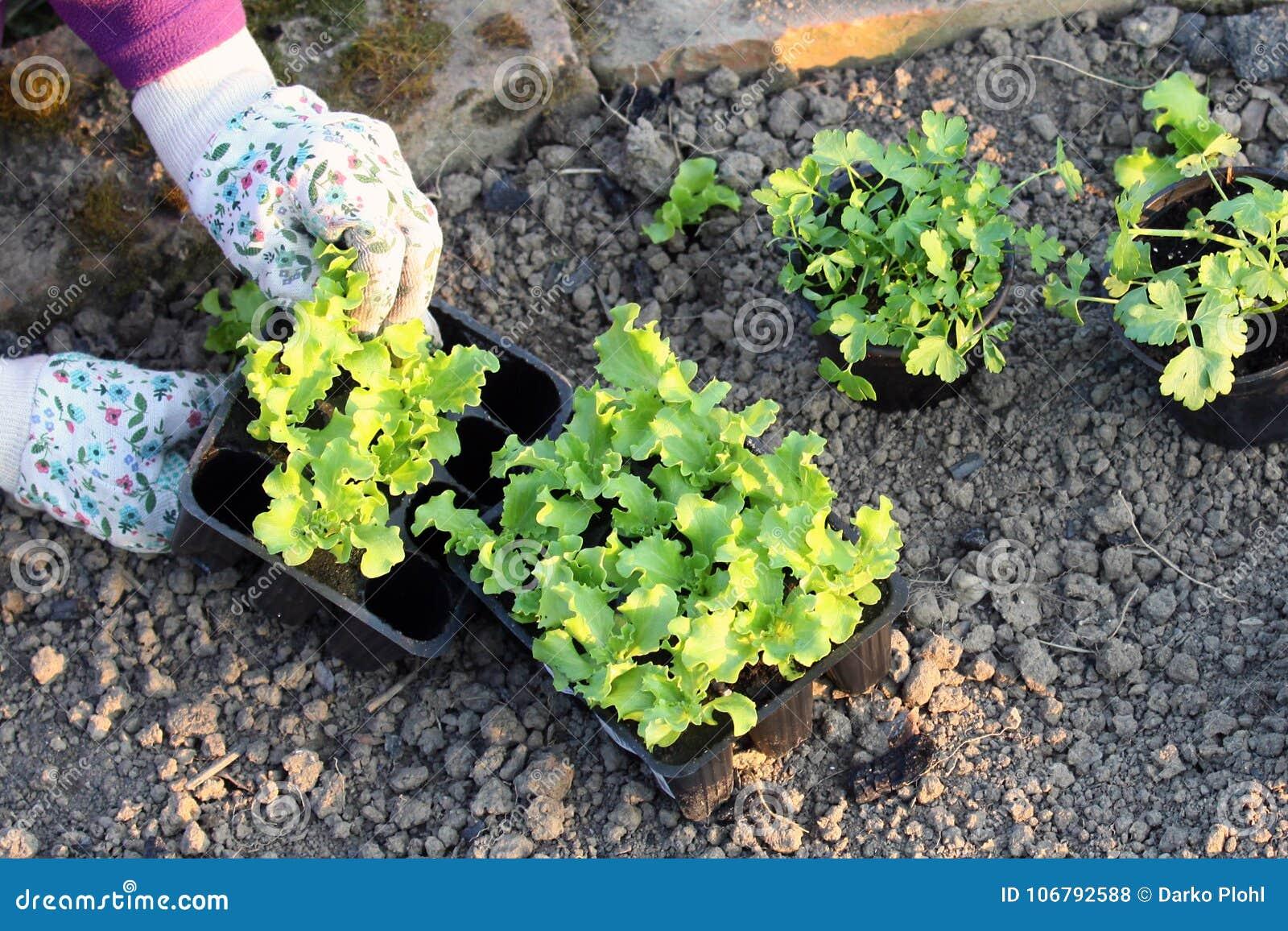 Plantando plântulas da salada nas camas vegetais