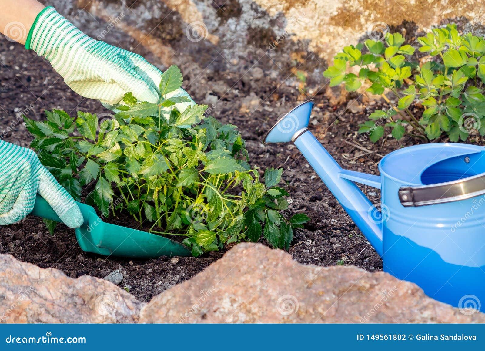 Plantando plantas Astilba no jardim ornamental da cama de flor