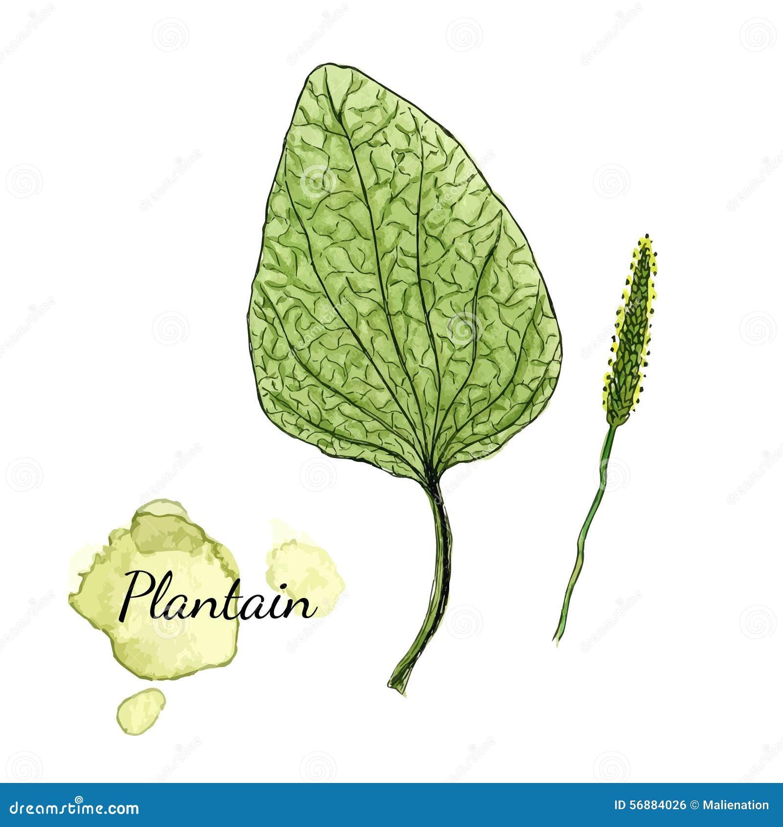 Plantano dell acquerello Erba medicinale Illustrazione di vettore