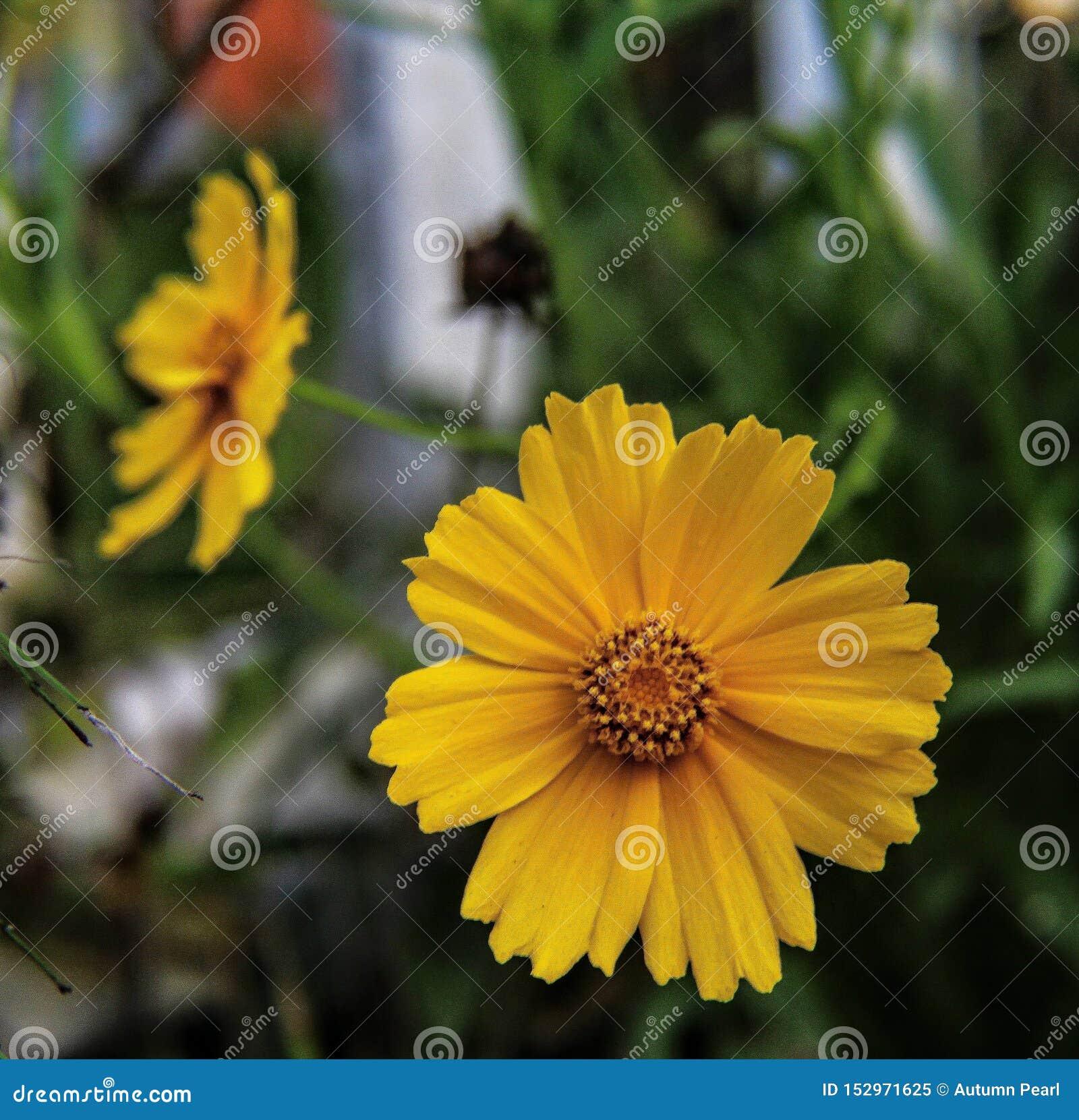Plantas amarelas da natureza do close-up da flor da margarida