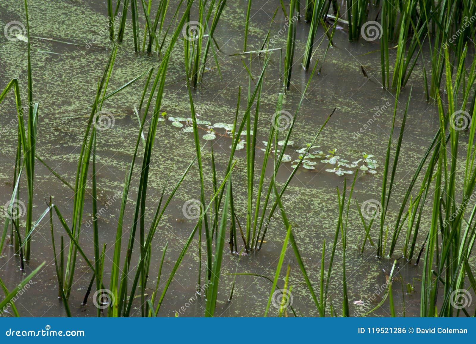 Plantas aquáticas na água pouco profunda