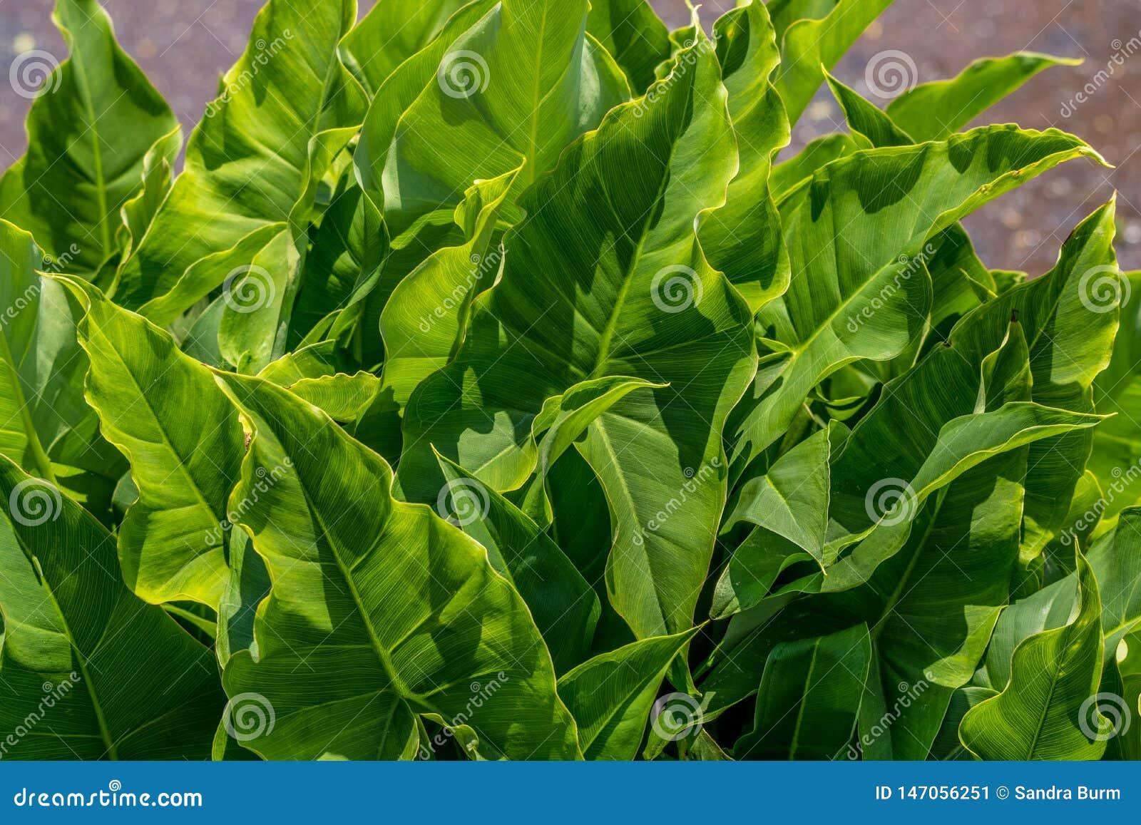 Plantas Broadleaf da seta