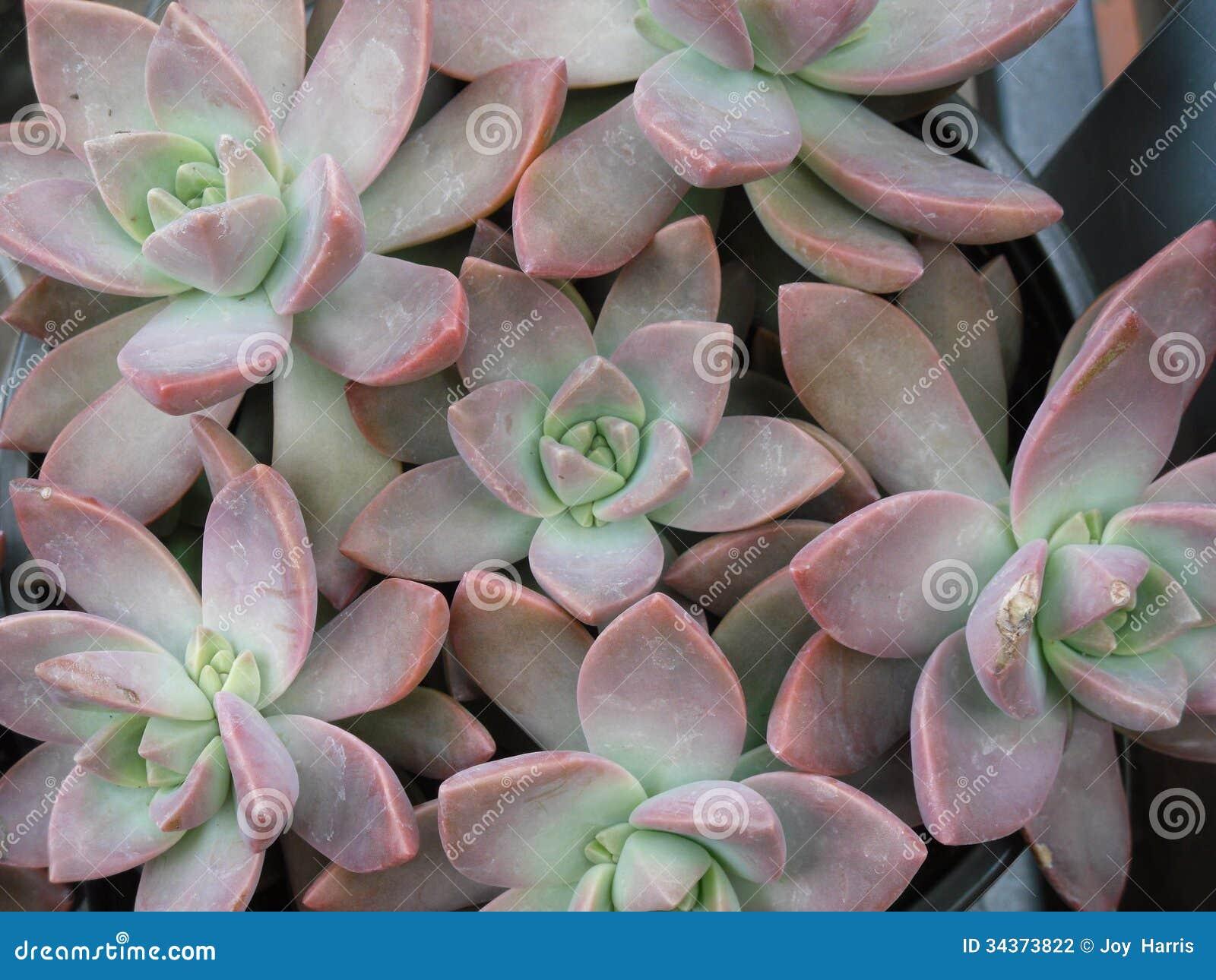 Plantas carnudas 8