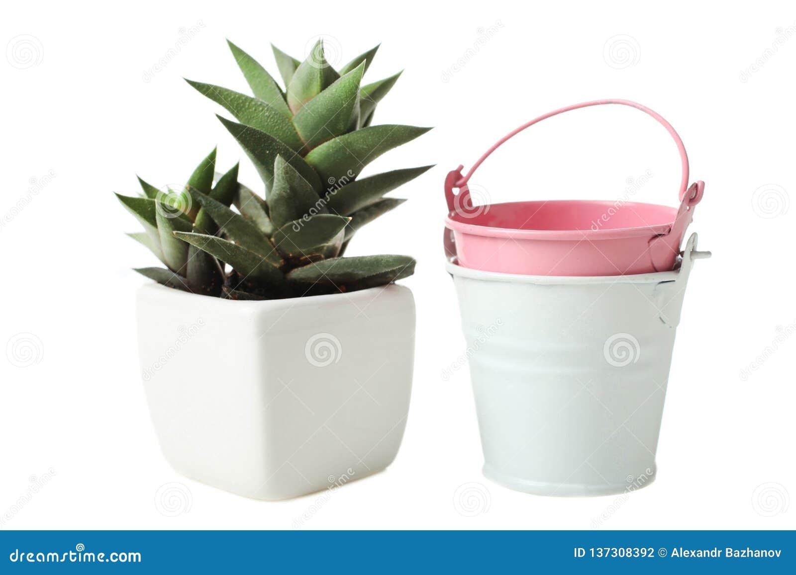 Plantas carnudas no vaso de flores branco e em duas cubetas pequenas
