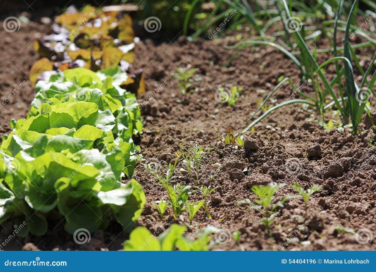 Plantas Da Alface No Jardim Foto de Stock  Imagem 54404196