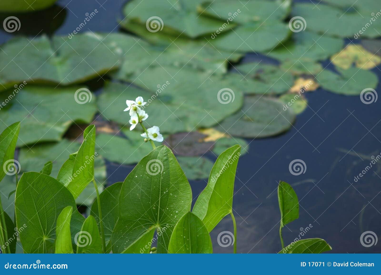 Plantas de agua