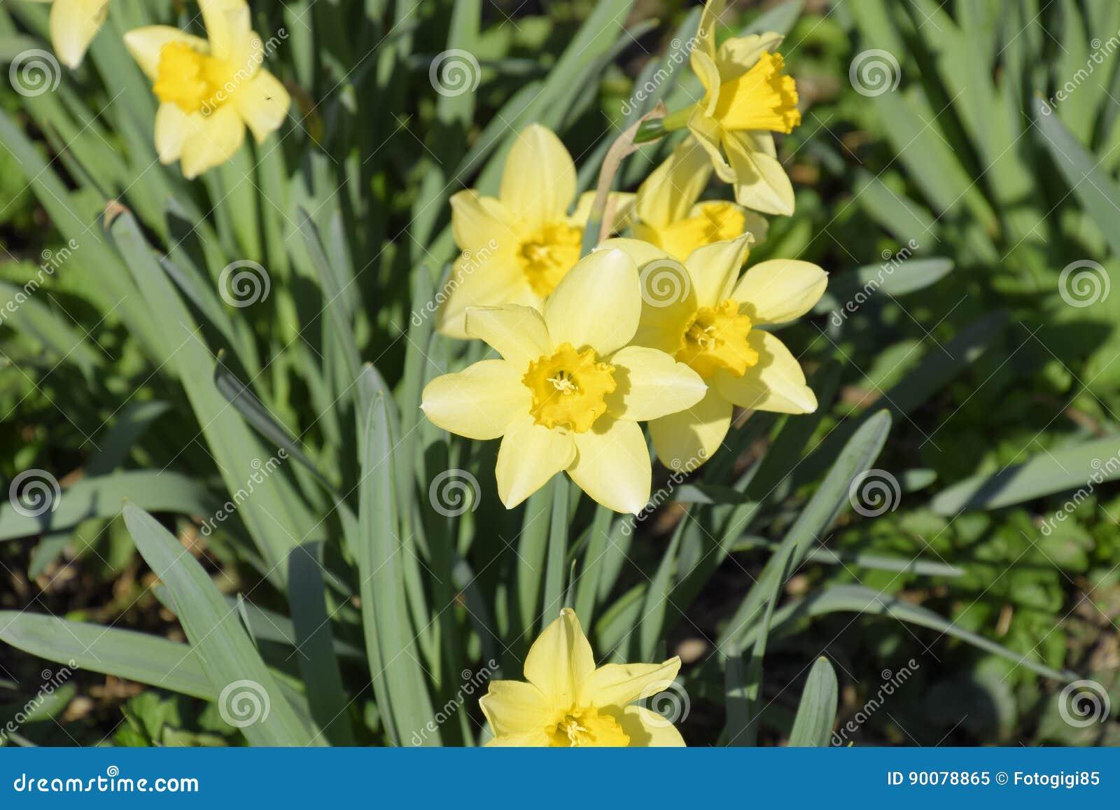 Plantas de bulbo floreciente de la primavera en el macizo - Plantas de temporada primavera ...