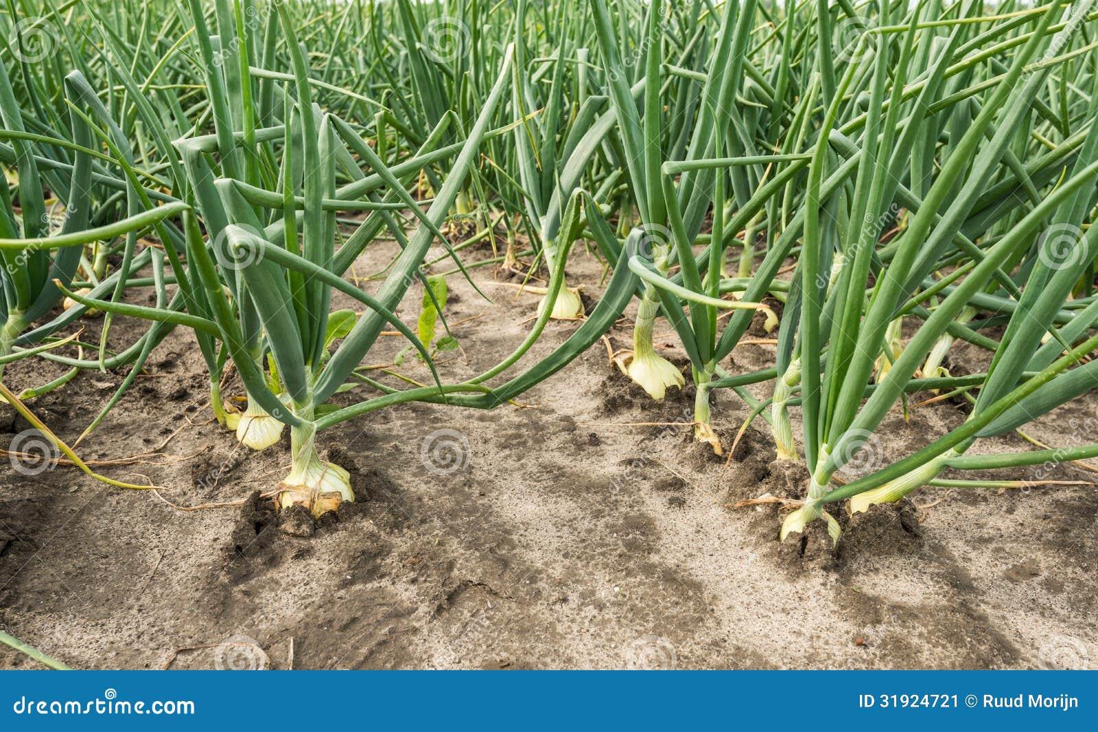 plantas de cebolla en la horticultura al aire libre imagen