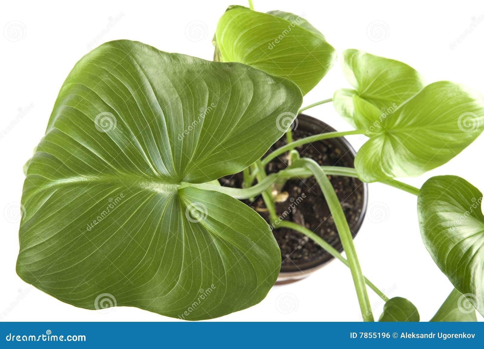 Plantas de interior macras - Imagenes plantas de interior ...