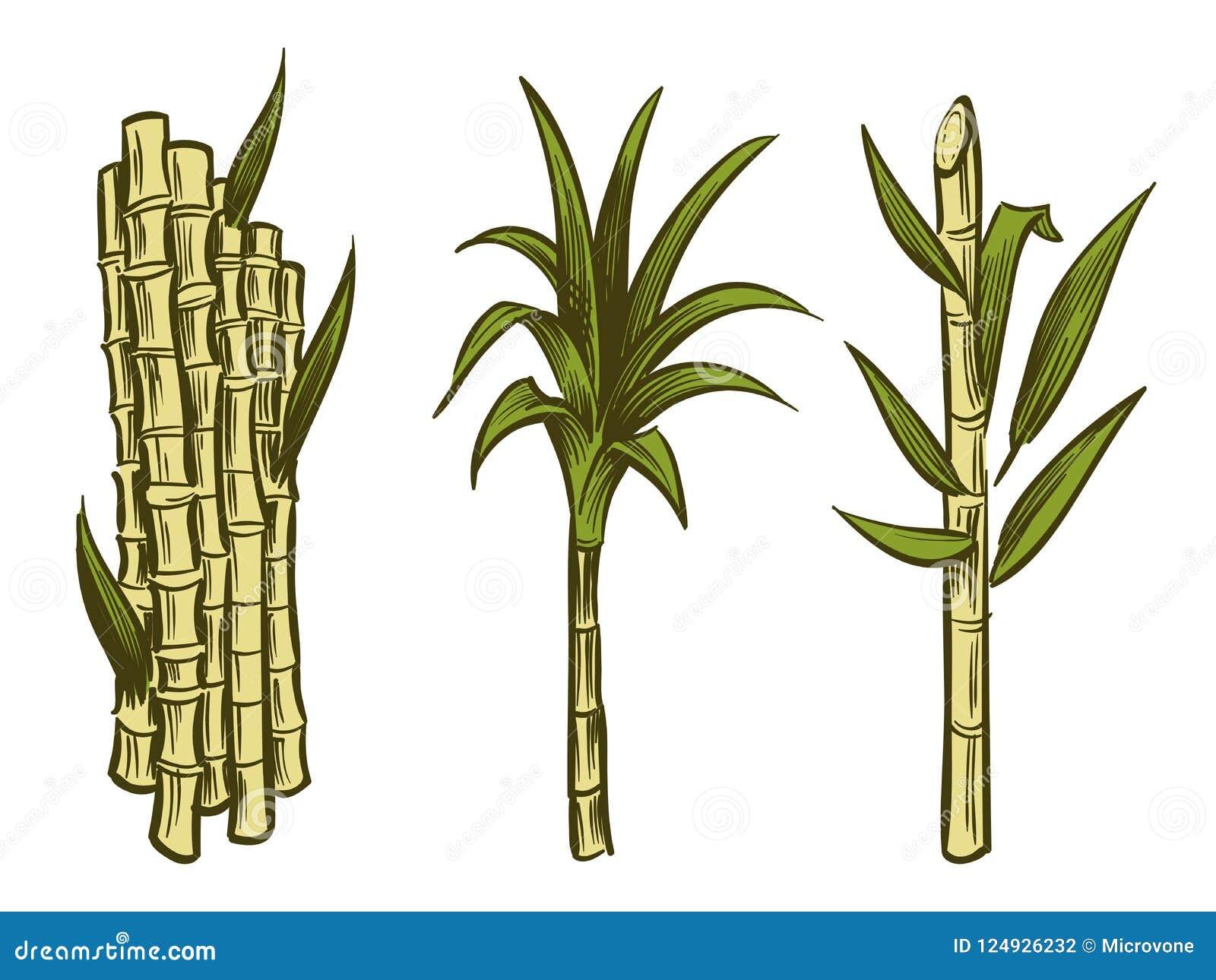 Plantas De La Caña De Azúcar Aisladas En El Fondo Blanco