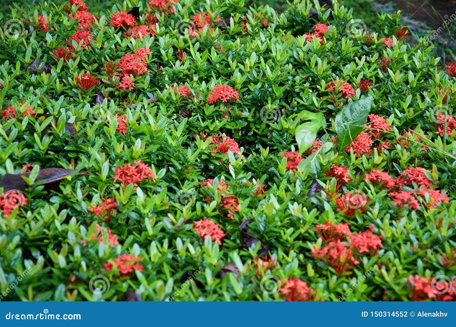 Plantas de la cama de flor de las flores rojas del ixora