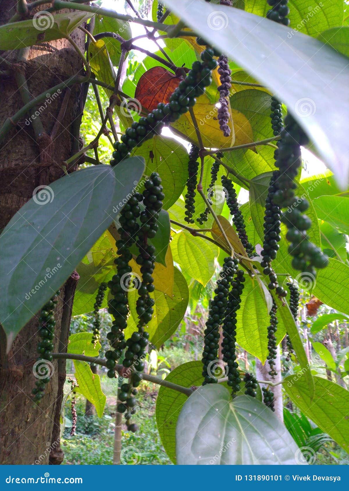 Plantas de la pimienta negra en árboles de la nuez de areca