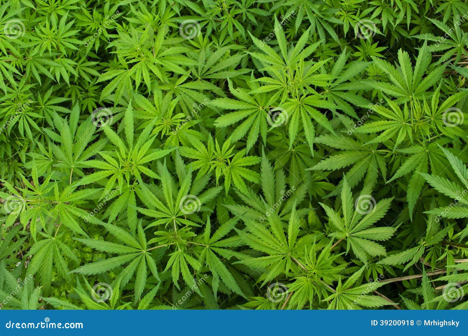 Plantas de marijuana