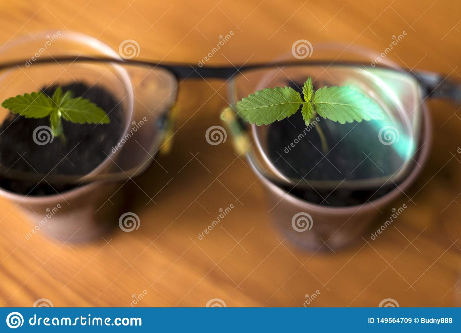Plantas de marijuana m?dicas novas em uns copos atrav?s de uma lente dos vidros