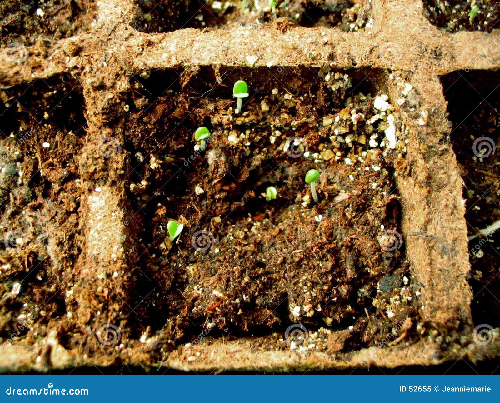 Plantas de semillero de la hierba