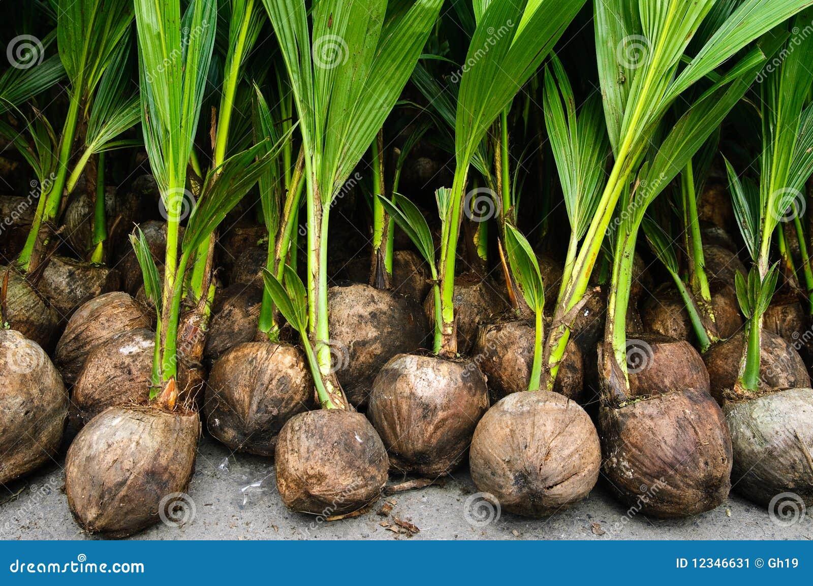 Plantas de semillero del coco imagen de archivo imagen for Como se planta la lavanda
