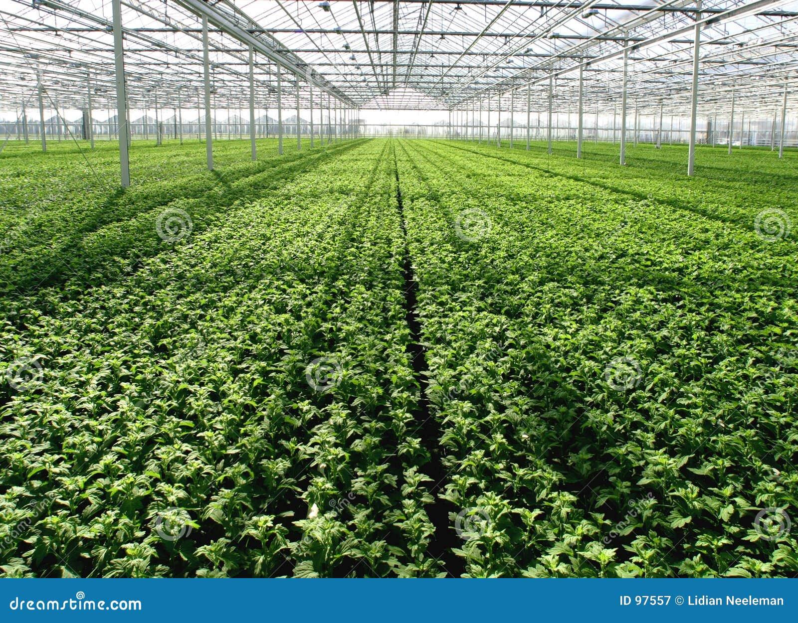 Plantas de semillero en invernadero Plantas de invernadero