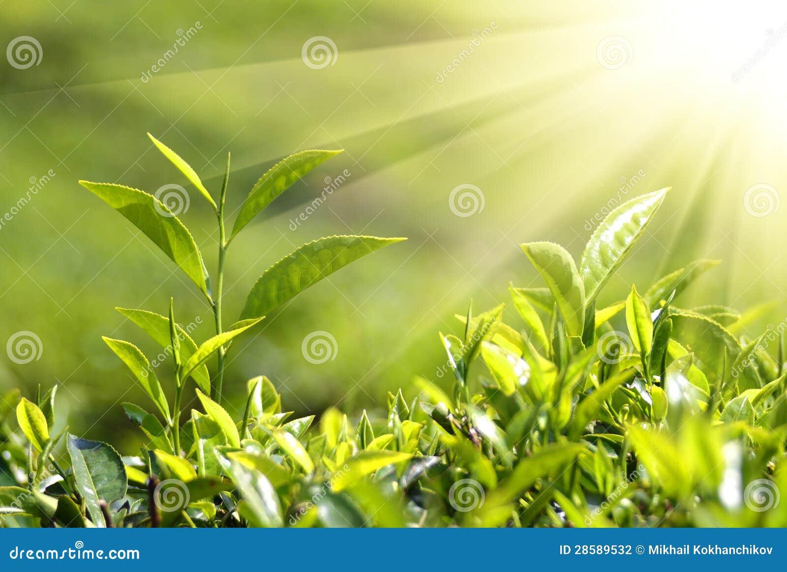 Plantas de t en rayos de sol fotograf a de archivo for Plantas para jardineras al sol