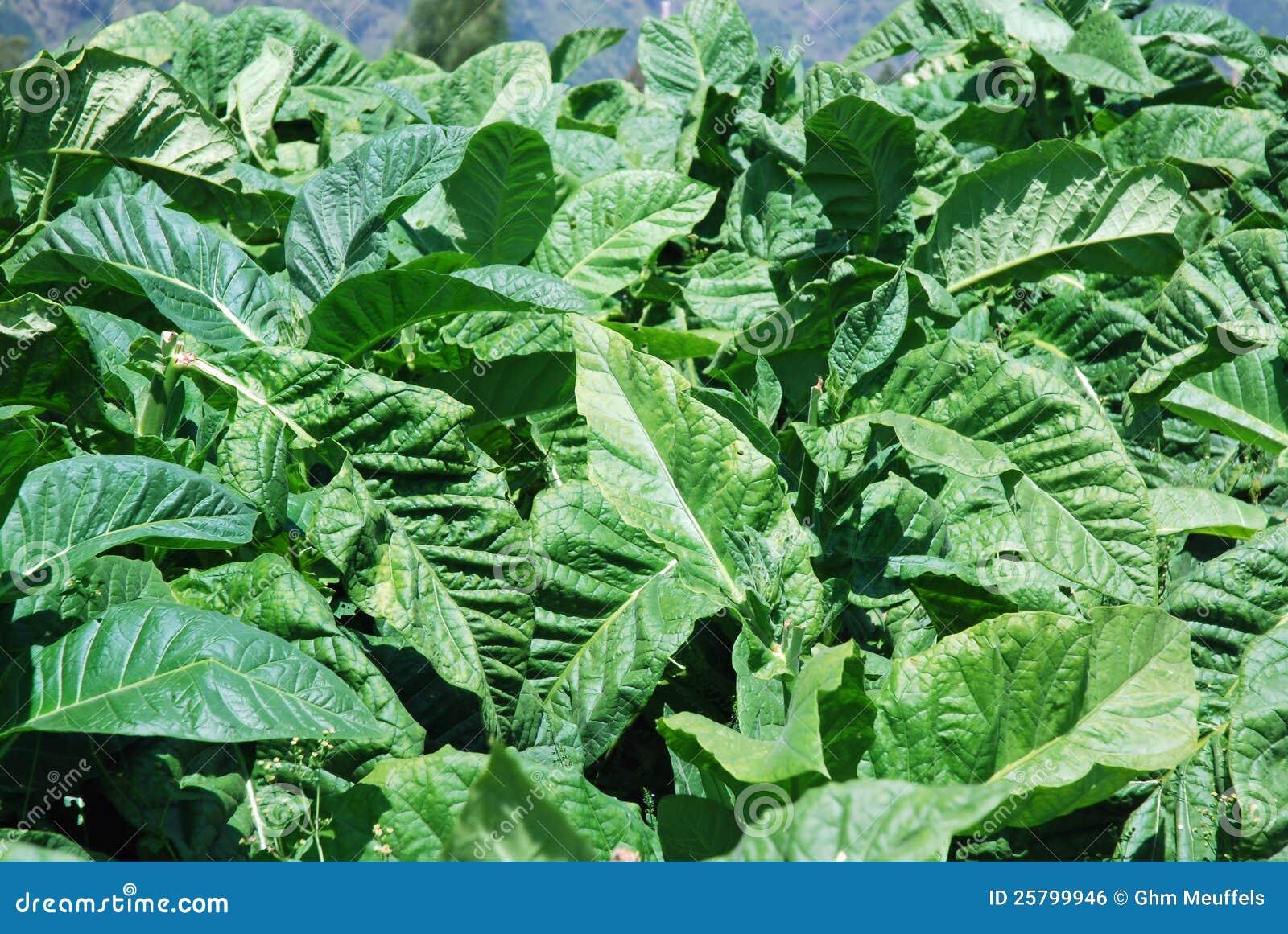 Plantas de tabaco con las hojas verdes grandes imagen de - Plantas de hojas verdes ...