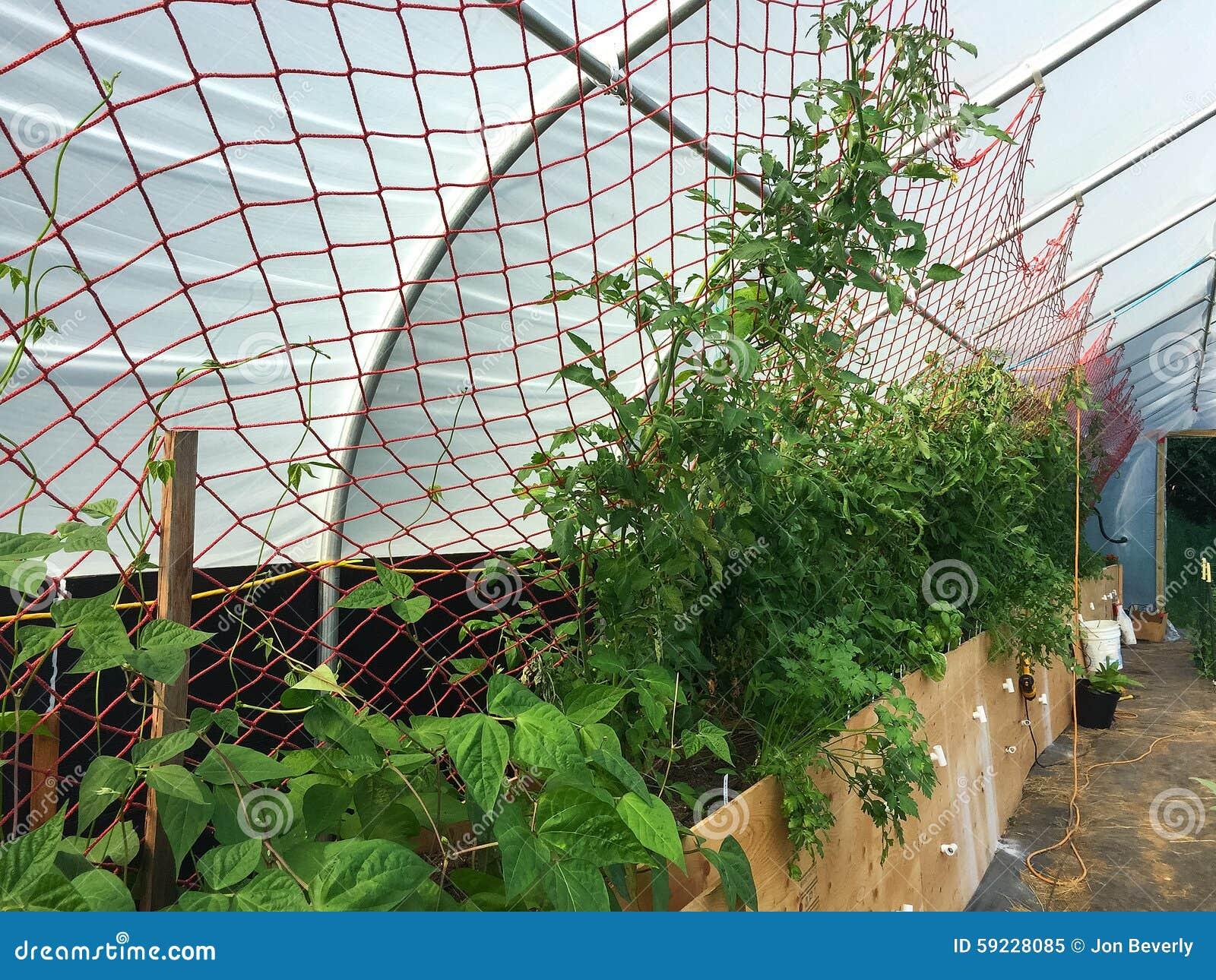 Plantas de tomate crecientes