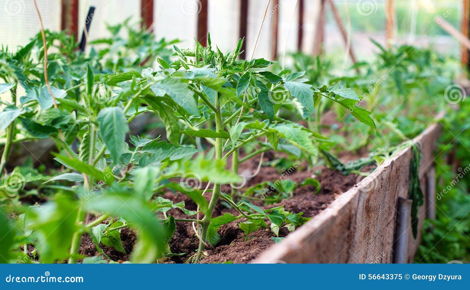 Plantas de tomate en invernadero foto de archivo imagen for Plantas para invernadero