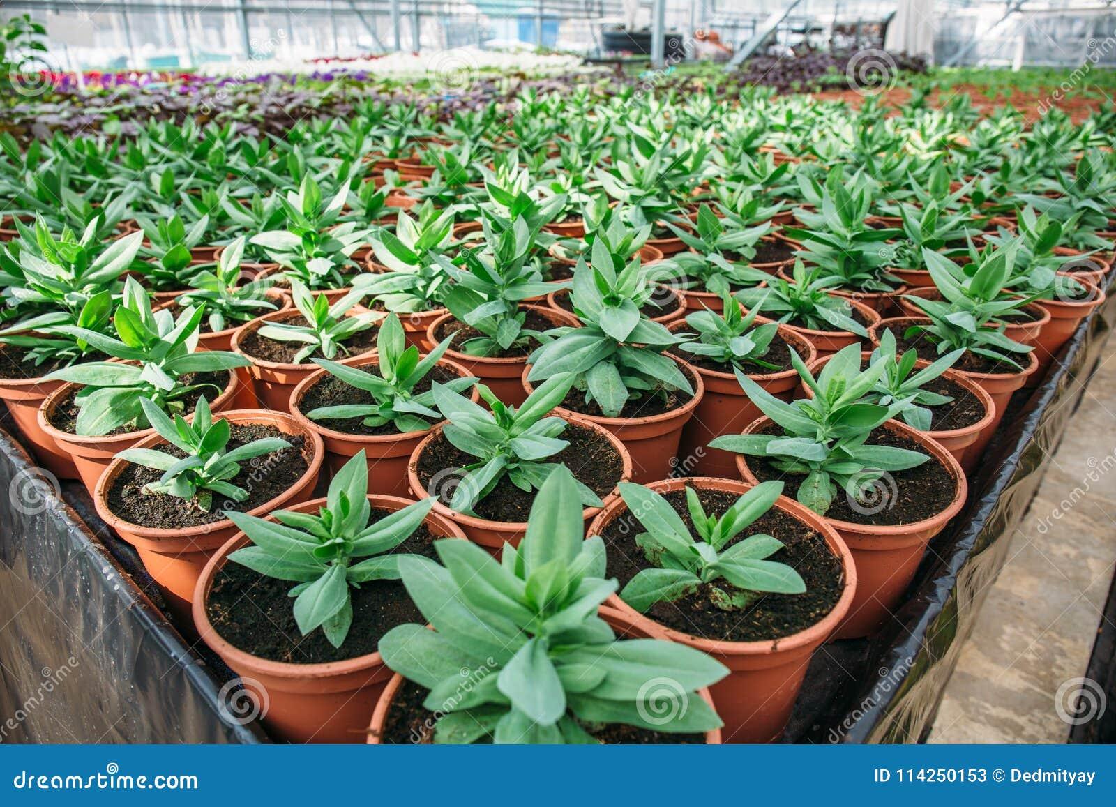 hidropónico Plantas Decorativas En El Invernadero Hidropnico Moderno