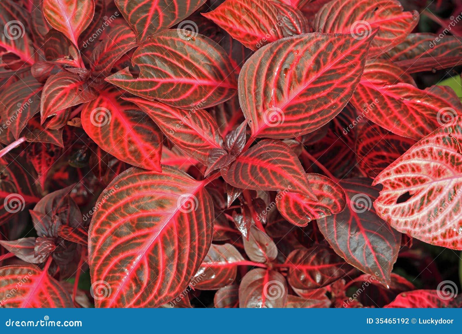 flores tropicais jardim:Plantas Decorativas Vermelhas Fotografia de Stock – Imagem: 35465192