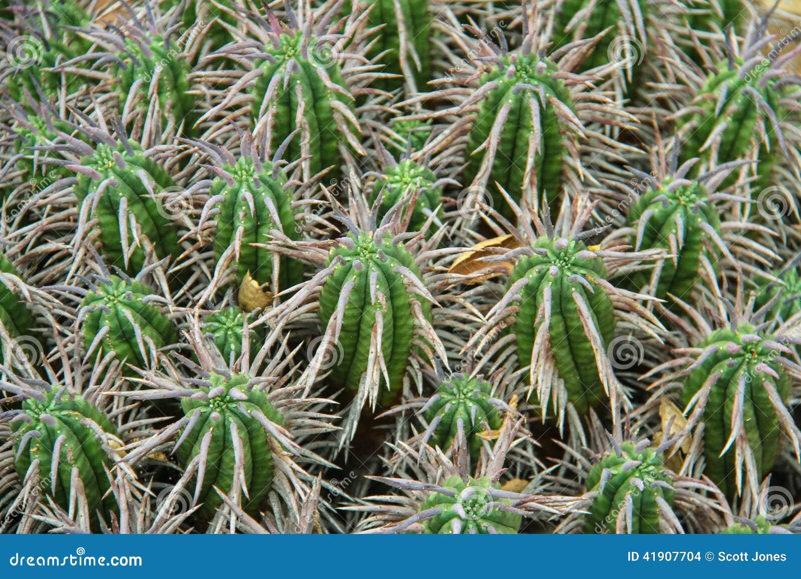 Plantas del cactus