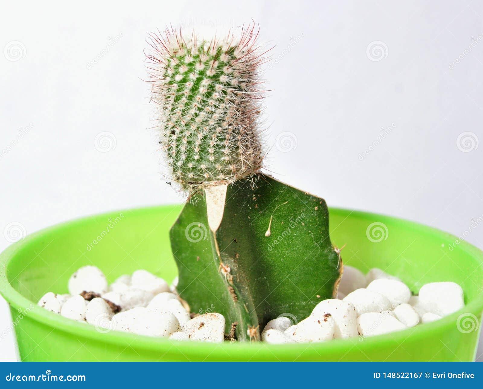 Plantas del cactus en los potes aislados en el fondo blanco