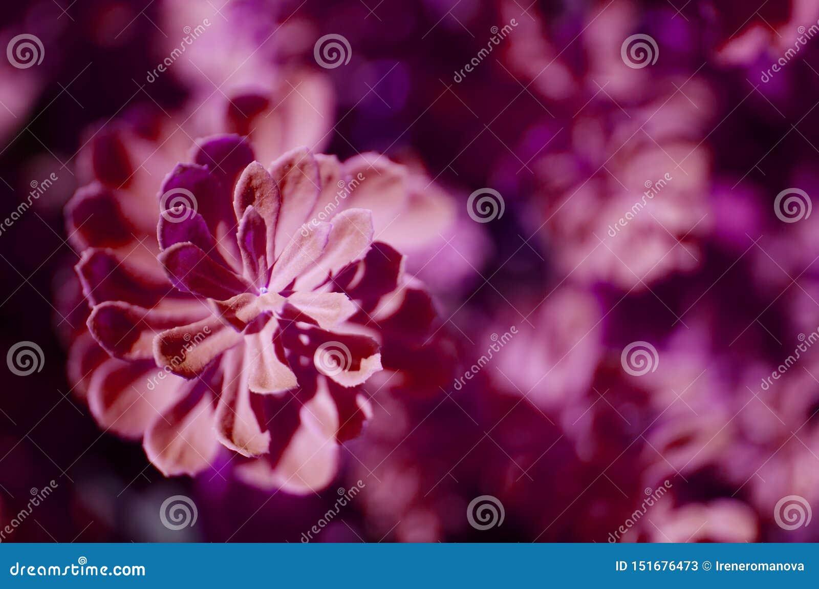 Plantas del rosea de Rhodiola al aire libre Esta flor tiene efecto m?dico fuerte Foto entonada p?rpura