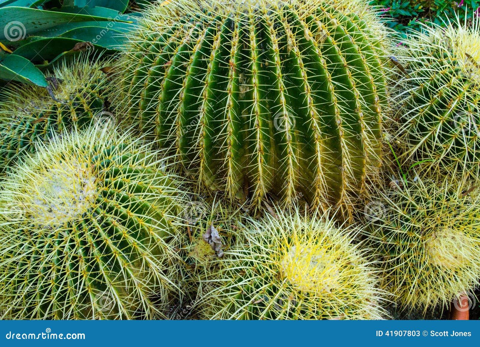 Plantas do cacto