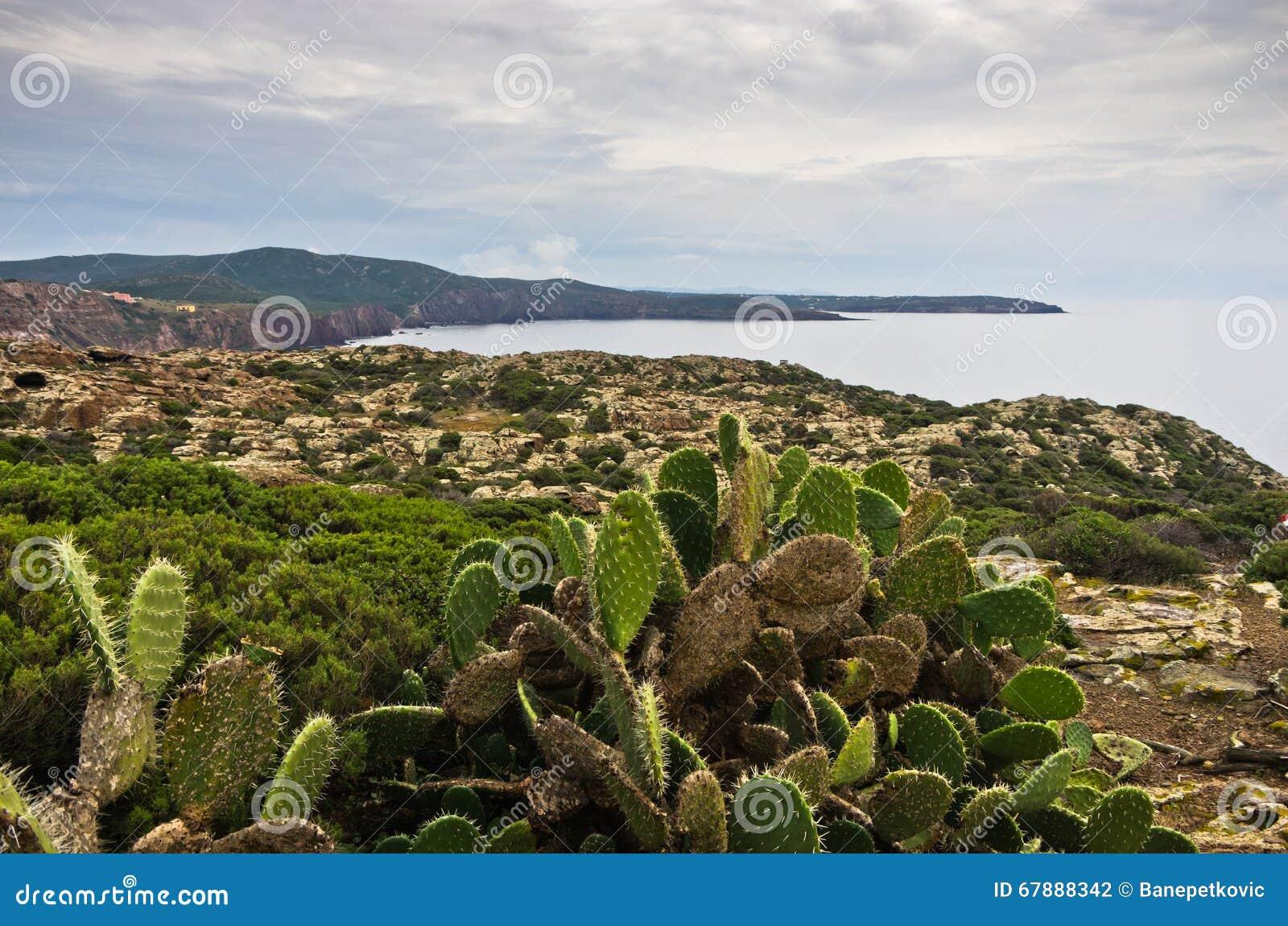 Plantas do cacto na costa oeste da ilha de San Pietro, Sardinia