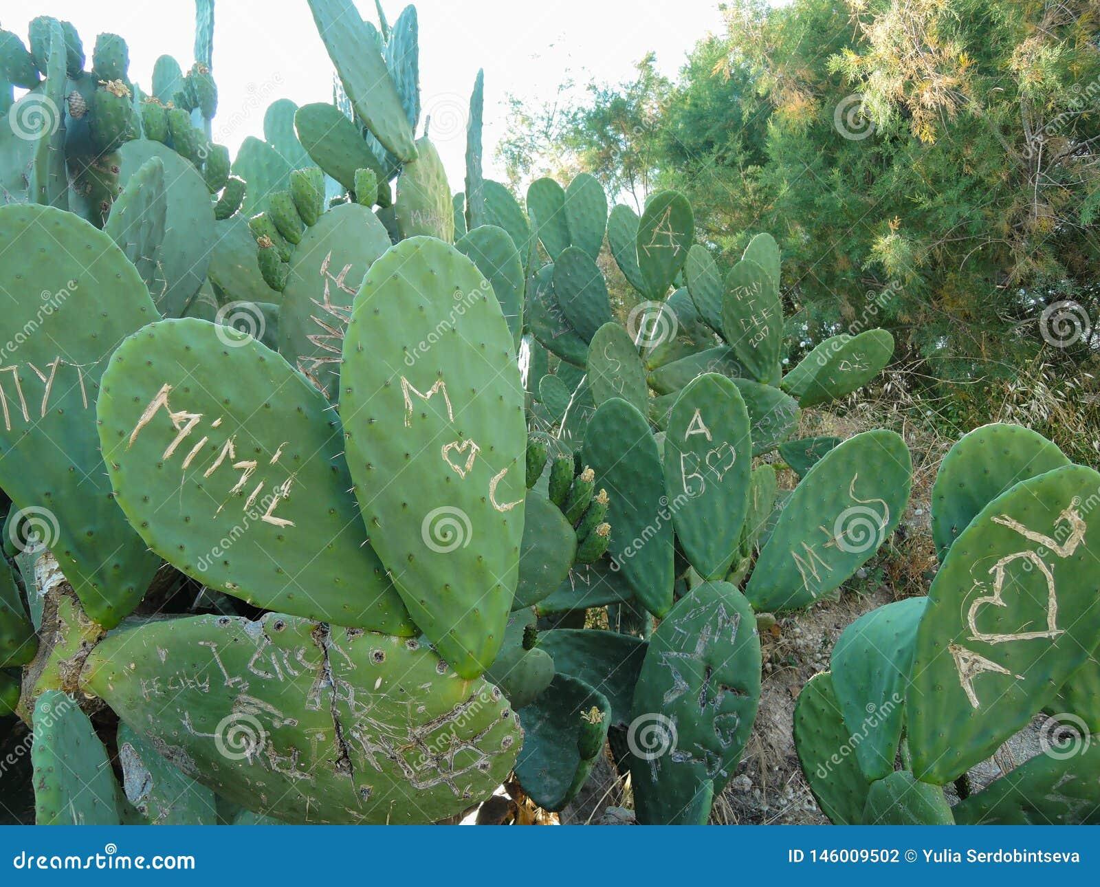 Plantas do cacto que mostram dano do vandalismo e dos grafittis onde os povos cinzelaram iniciais e s?mbolos em sua superf?cie