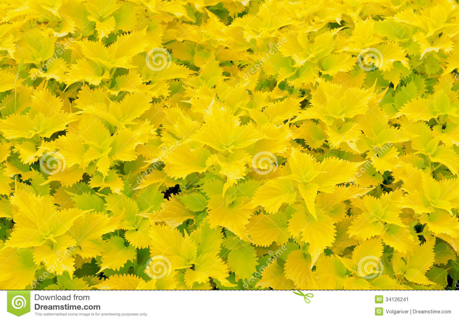 flores para jardim verao : flores para jardim verao:Plantas Do Coleus No Jardim Do Verão. Imagem de Stock – Imagem