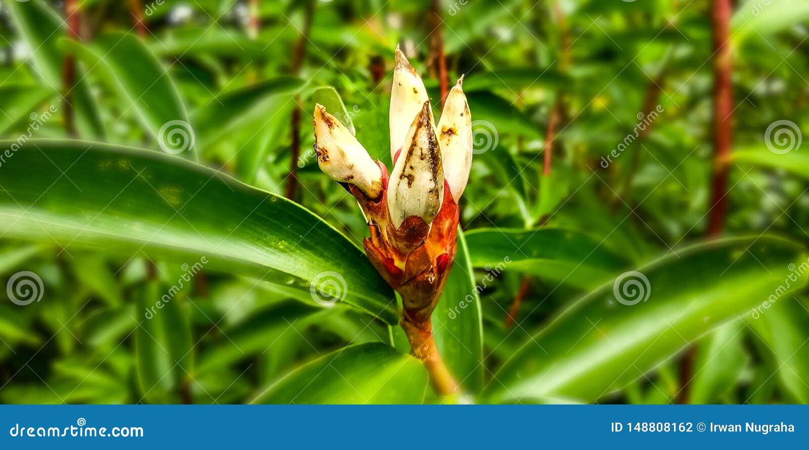 Plantas do gengibre do crepe ainda pequenas na floresta