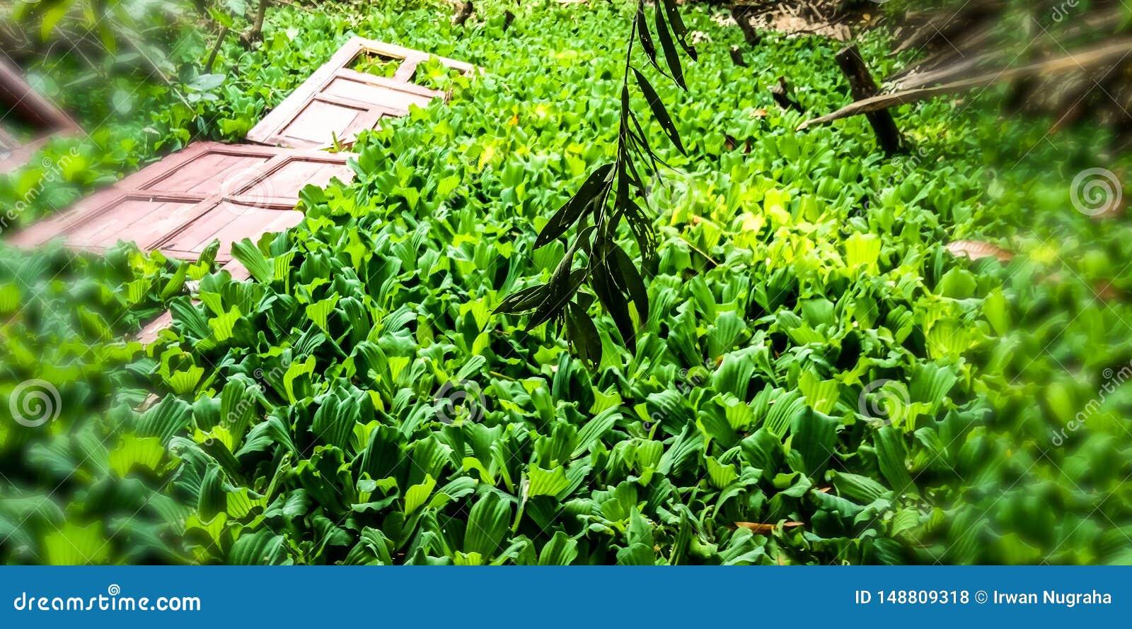 Plantas do jacinto de ?gua na ?gua que est?o em uma lagoa